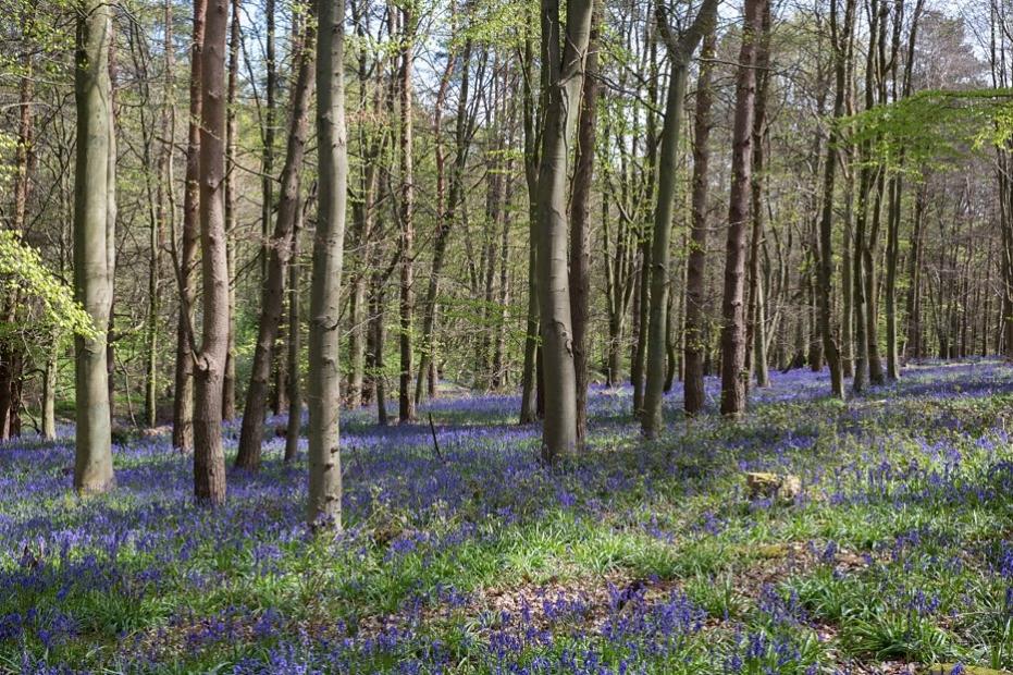 Bluebell_woods_pre_wedding_session_Hertfordshire_0001