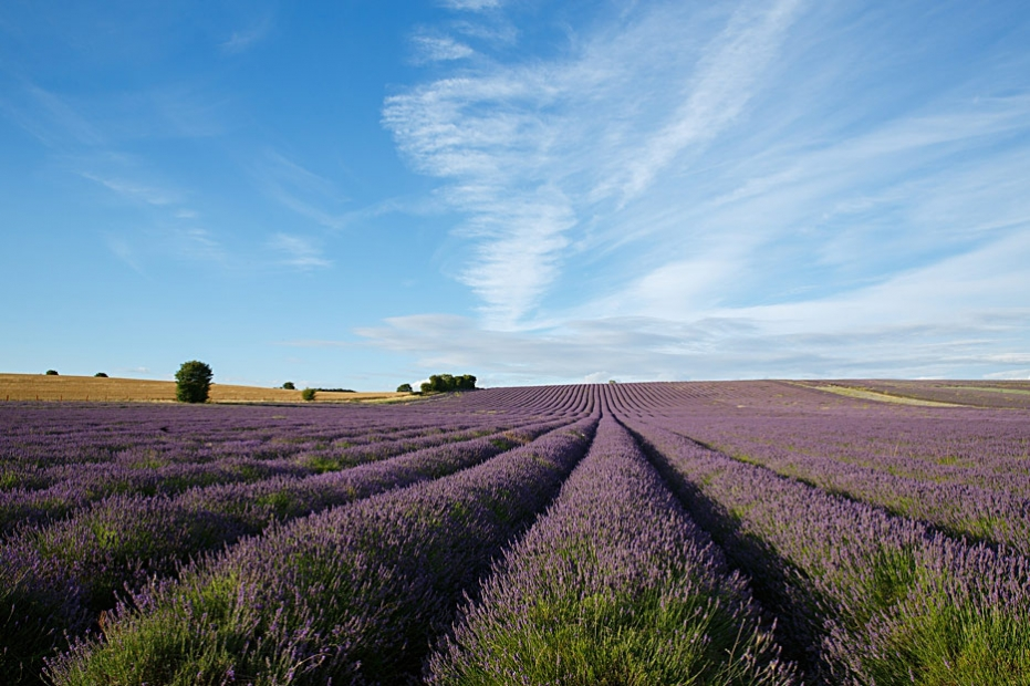 Hitchin Lavender Photography workshops Sharon Cooper